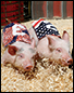 Clover Farm Pigs