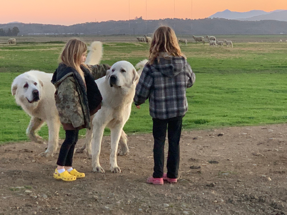 1st. Trudy Bruhn_livestock guard dogs that protect our sheep 3
