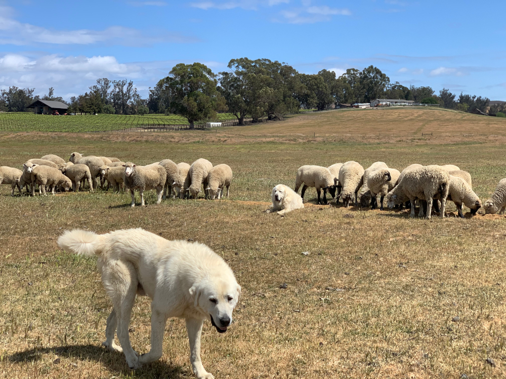 2nd. Trudy Bruhn_livestock guard dogs that protect our sheep 1