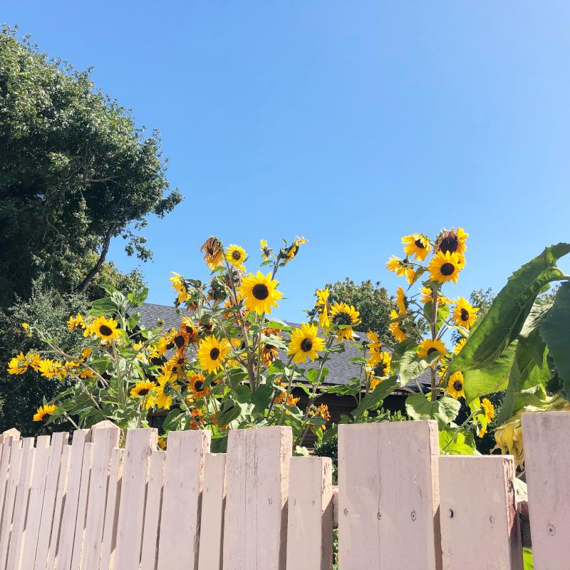 2nd. Amy  Plumb, Sunflower Garden