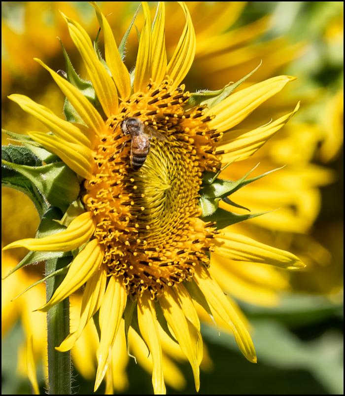 Pollinator - Sunflower Fields, Dixon CA
